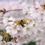 姫路城イベント!オープン記念『第30回祝賀・姫路城観桜会』