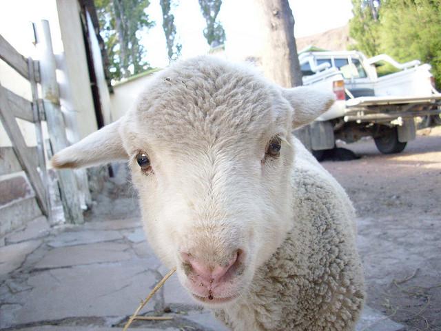 動物とふれあい。羊の画像