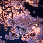 姫路城の夜桜 – お花見情報や交通事情、駐車場のことなど