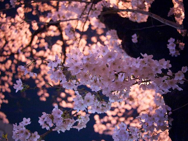 姫路城の夜桜、お花見事情、駐車場のこと